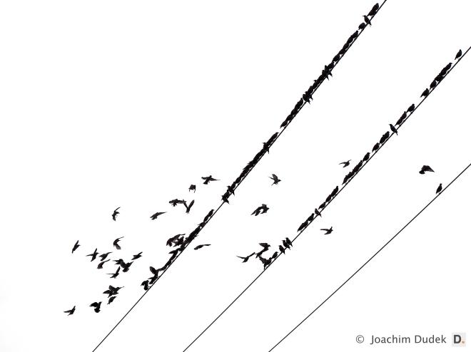 Vögel auf der Leitung